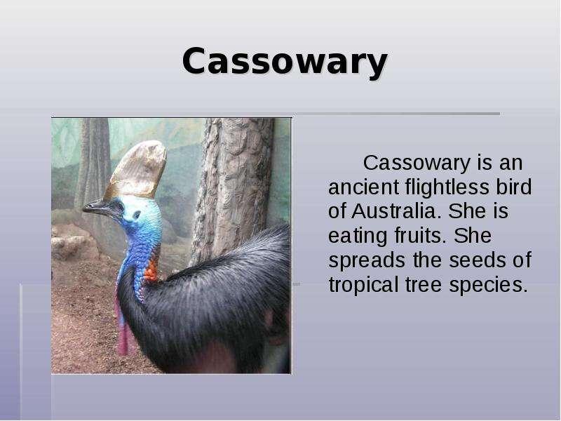 Cassowary eating