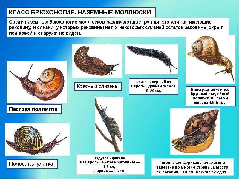 о моллюсках картинками доклад с