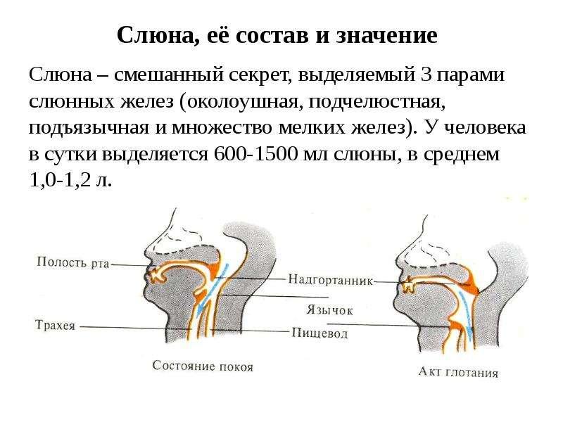 Слюна, её состав и значение Слюна – смешанный секрет, выделяемый 3 парами слюнных желез (околоушная,