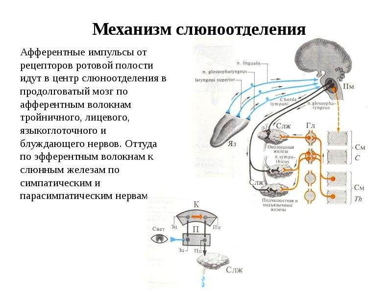 Механизм слюноотделения Афферентные импульсы от рецепторов ротовой полости идут в центр слюноотделен