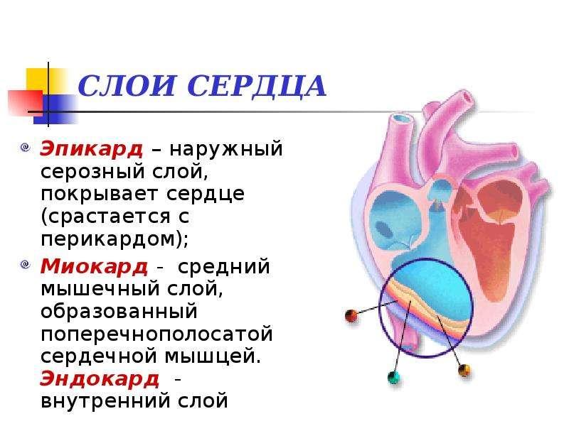 Слои сердца картинка