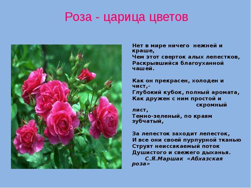 стихотворение о розе увлечение сына