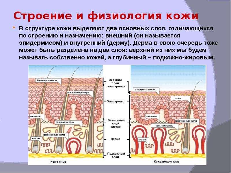 Сведения об анатомии и физиологии кожи