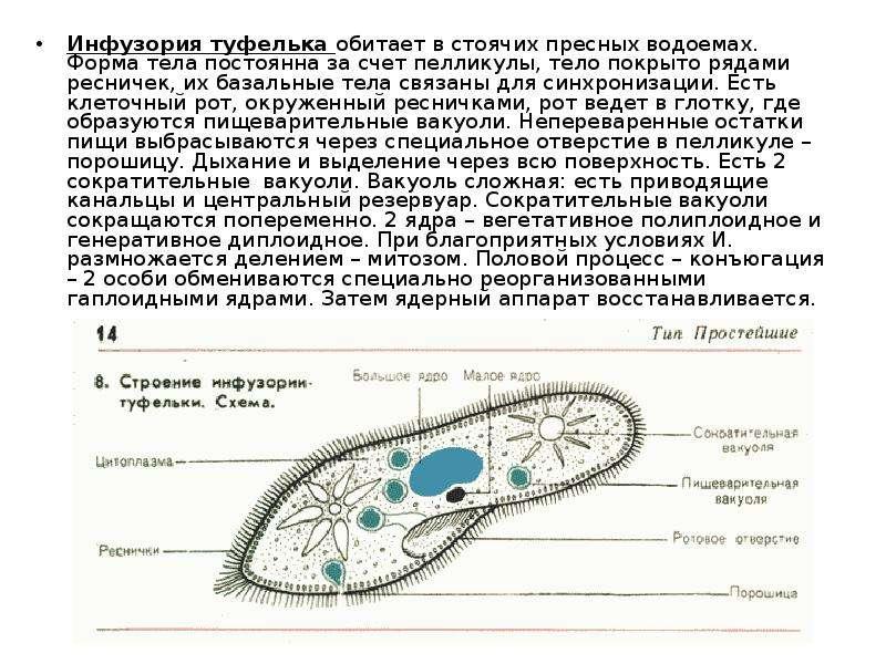 Инфузория туфелька доклад