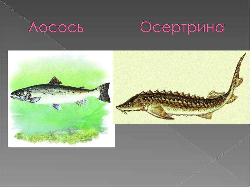 Презентация по товароведению на тему икра рыбы