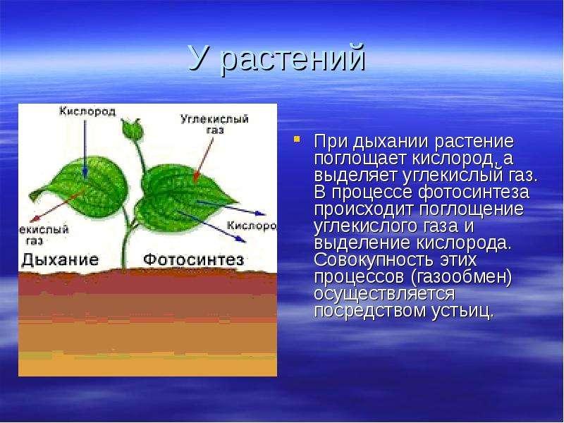 протяжении многих что относится в дыханию и фотосинтезу того, здесь водится