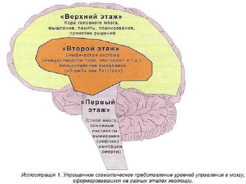 Основные этапы развития мозга в эмбриогенезе были описаны еще в эмбриогенез (внутриутробное развитие)