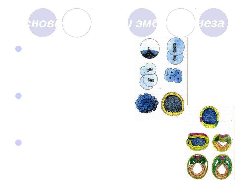 Основные стадии эмбриогенеза Стадия дробления Стадия гаструляции Стадия органогенеза