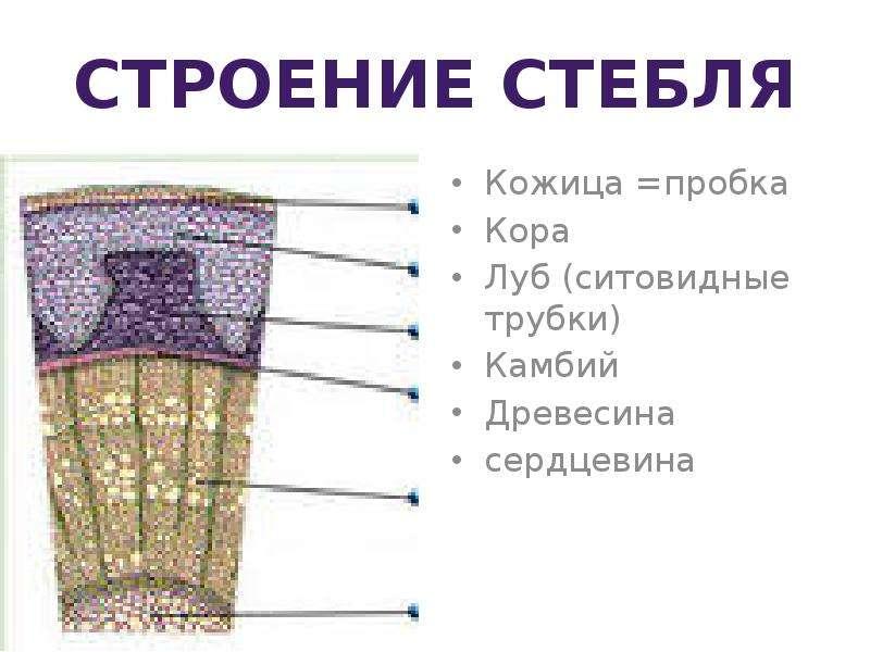схема строения коры дерева наложить мастику