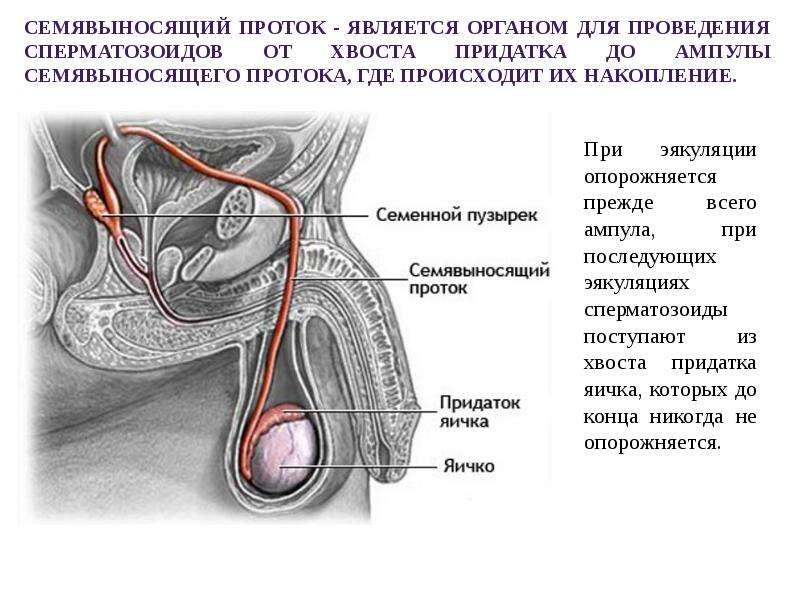 put-spermatozoida-shema