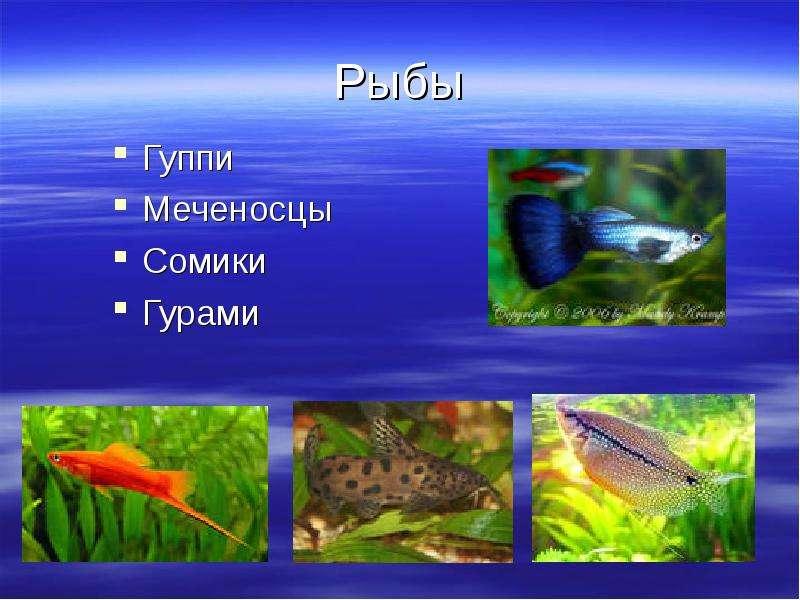 Рыбы Гуппи Меченосцы Сомики Гурами