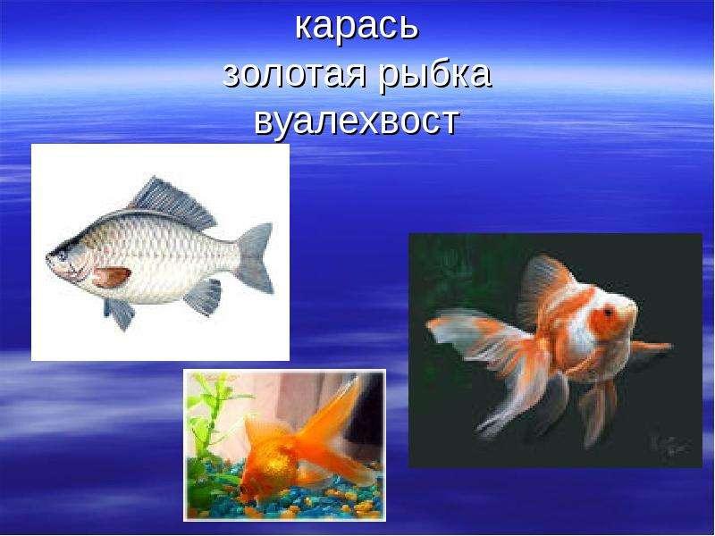 карась золотая рыбка вуалехвост
