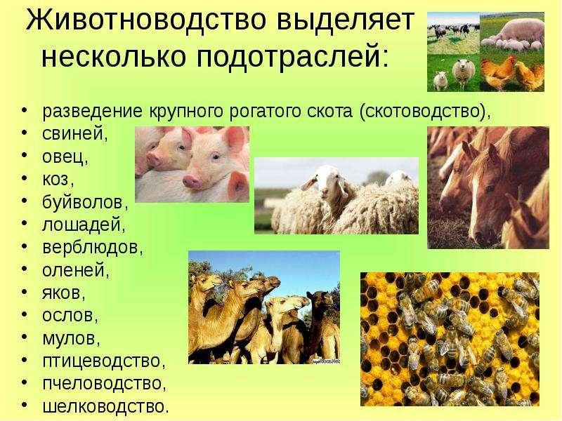 Отрасли животноводства картинка