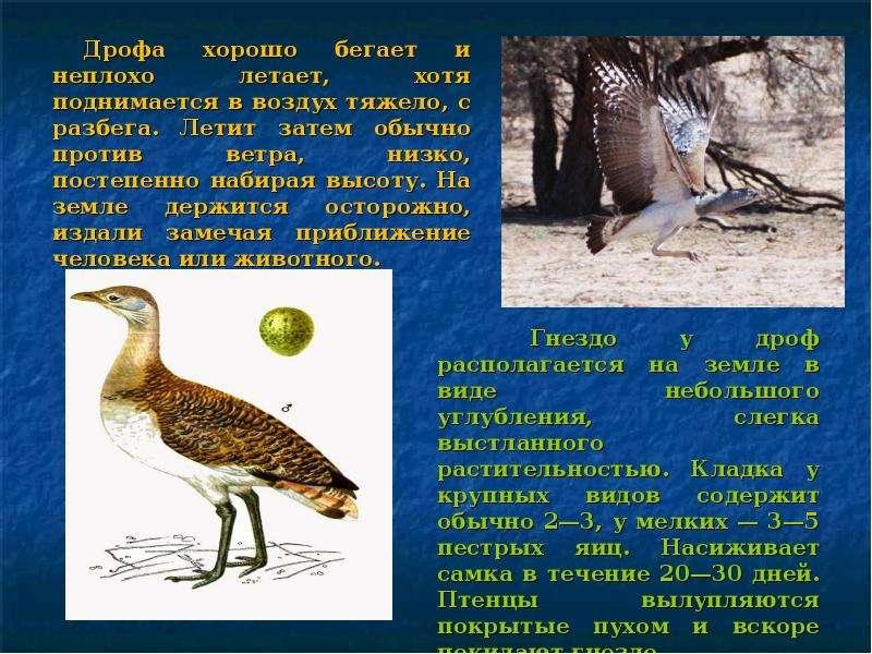 Дрофа картинки с описанием