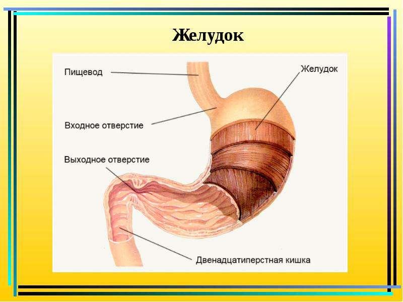 Схема желудка