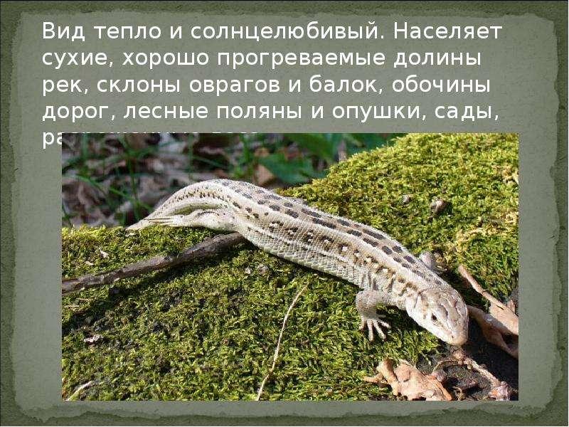 ловля прыткой ящерицы