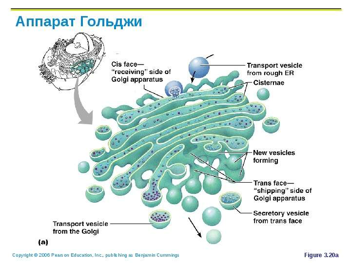 the important function of the golgi apparatus