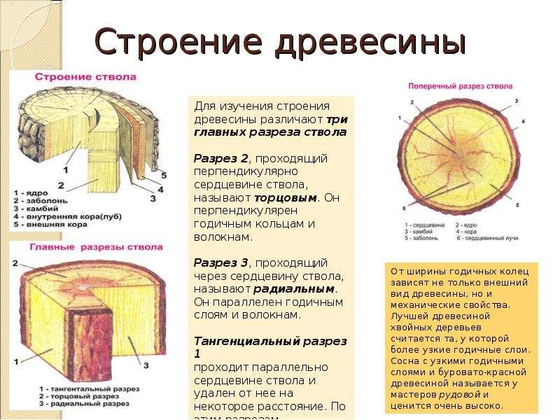 богатой многовековой микроскопическое строение древесины картинки каждым годом современные