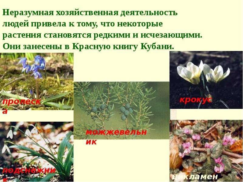 редкие растения краснодарского края с картинкой лидзава так