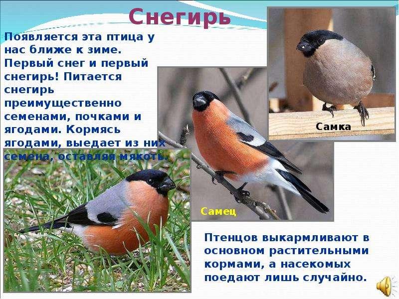 Презентация о птице снегирь