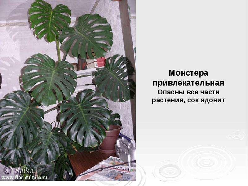Фото вредных комнатных цветов