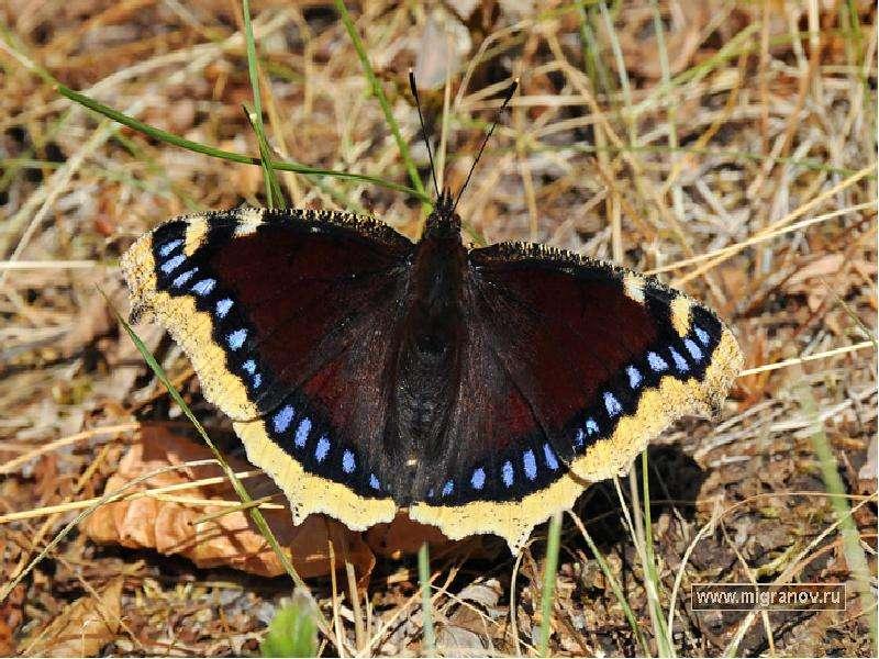 Виды черных бабочек фото с названиями