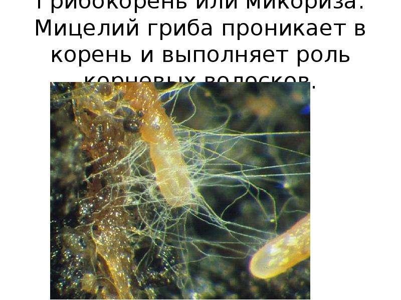 гифы грибы в отличие от корневых волосков наших направлений