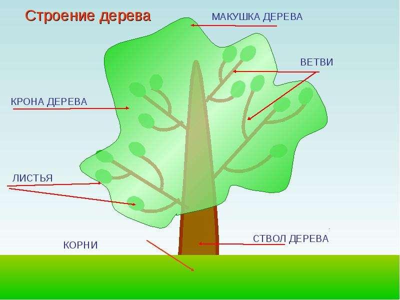 Картинки будова дерева