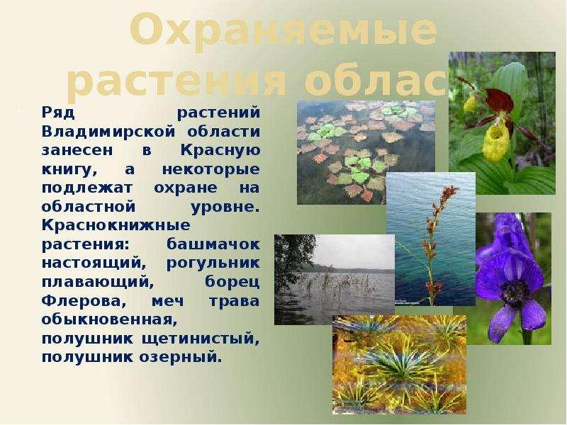 Охраняемые растения области Ряд растений Владимирской области занесен в Красную книгу, а некоторые п
