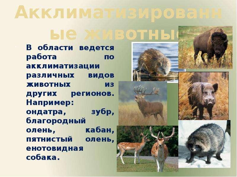 Акклиматизированные животные В области ведется работа по акклиматизации различных видов животных из