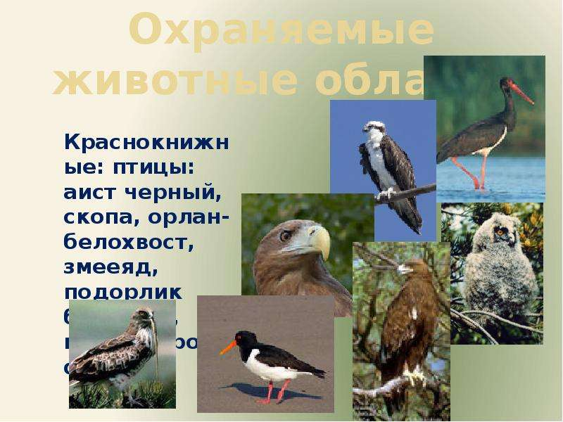 Охраняемые животные области Краснокнижные: птицы: аист черный, скопа, орлан-белохвост, змееяд, подор