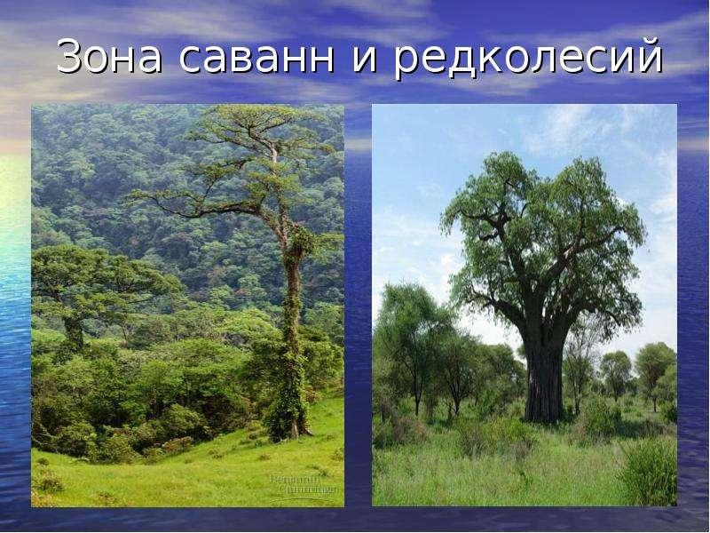 Саванны и редколесья встречаются, как правило, в субэкваториальных поясах