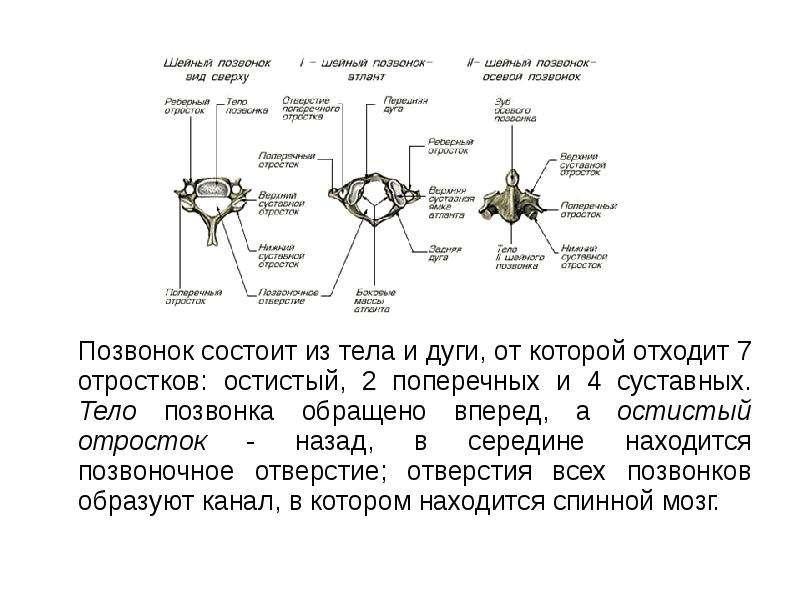 Позвонок состоит из тела и дуги, от которой отходит 7 отростков: остистый, 2 поперечных и 4 суставны
