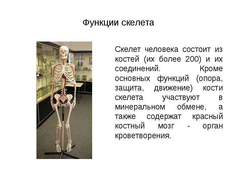 Функции скелета Скелет человека состоит из костей (их более 200) и их соединений. Кроме основных фун