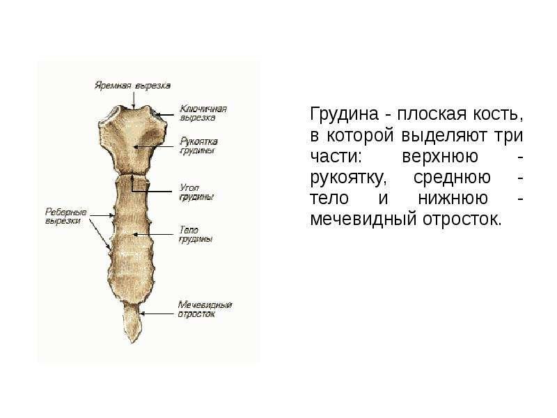 Грудина - плоская кость, в которой выделяют три части: верхнюю - рукоятку, среднюю - тело и нижнюю -