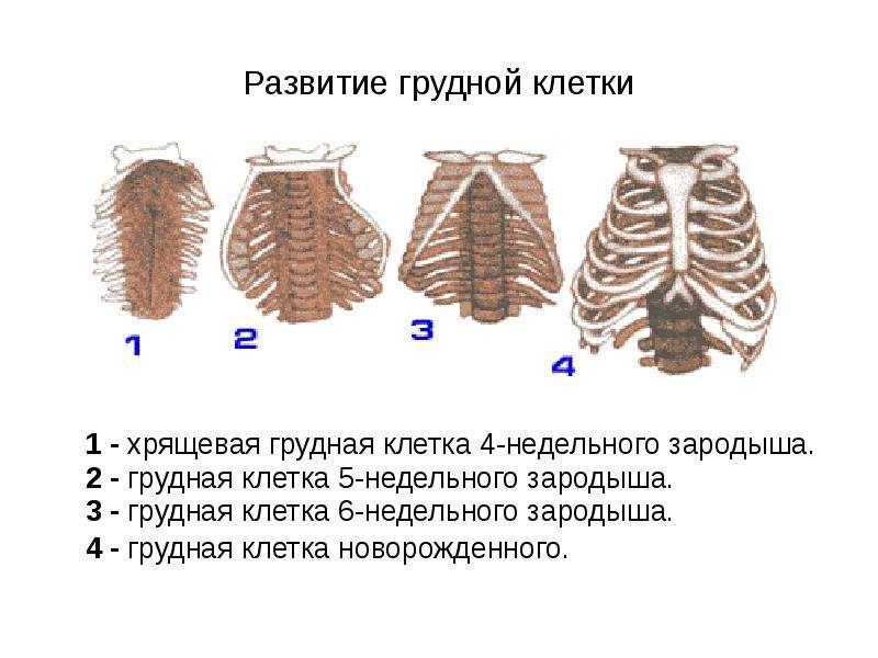 Развитие грудной клетки 1 - хрящевая грудная клетка 4-недельного зародыша. 2 - грудная клетка 5-неде