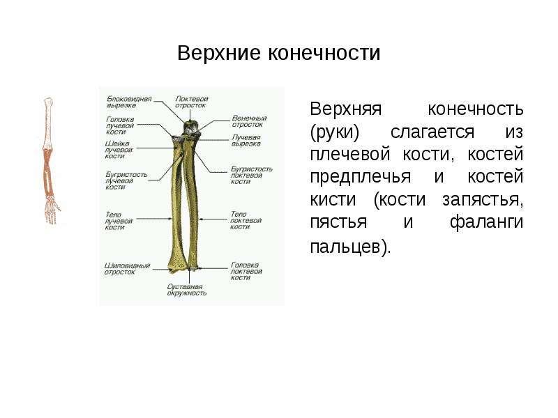 Верхние конечности Верхняя конечность (руки) слагается из плечевой кости, костей предплечья и костей