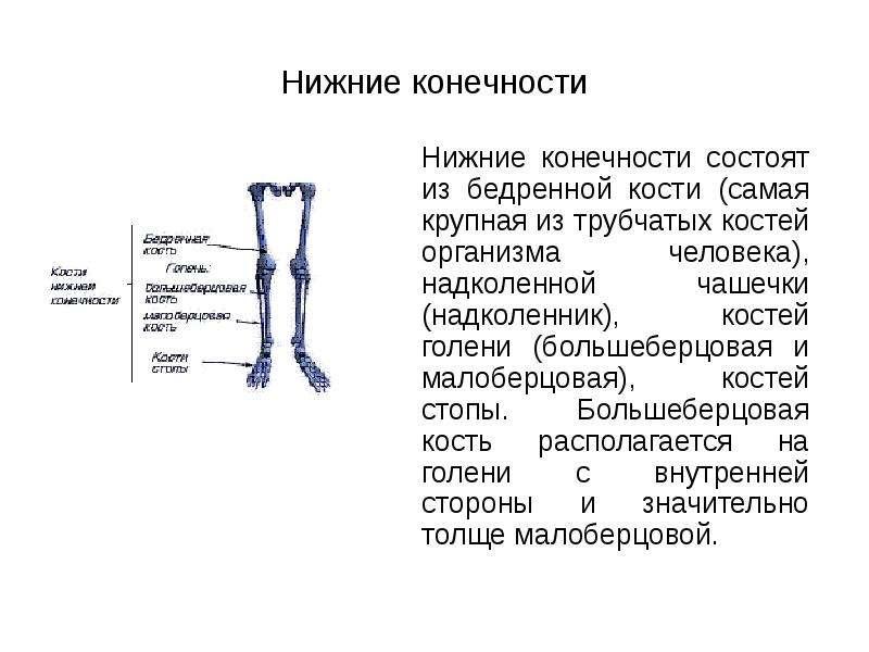 Нижние конечности Нижние конечности состоят из бедренной кости (самая крупная из трубчатых костей ор