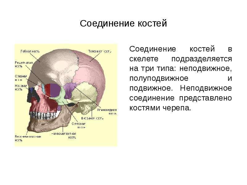 Соединение костей Соединение костей в скелете подразделяется на три типа: неподвижное, полуподвижное