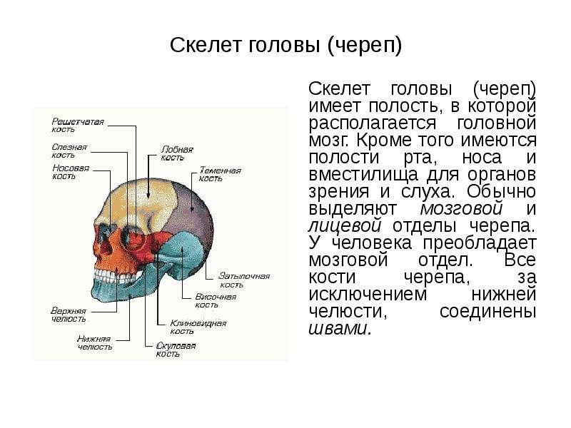 Скелет головы (череп) Скелет головы (череп) имеет полость, в которой располагается головной мозг. Кр