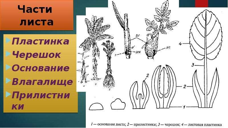 rasteniya-s-vlagalishnim-chereshkom-lista