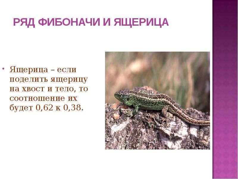 РЯД ФИБОНАЧИ И ЯЩЕРИЦА Ящерица – если поделить ящерицу на хвост и тело, то соотношение их будет 0,62