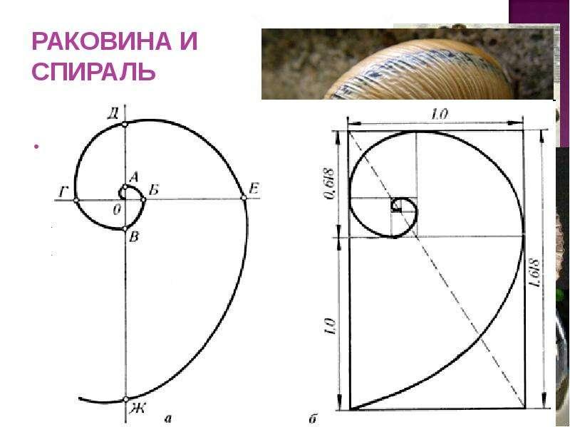 РАКОВИНА И СПИРАЛЬ Раковина в форме спирали - форма раковины заинтересовала Архимеда и он выяснил, ч