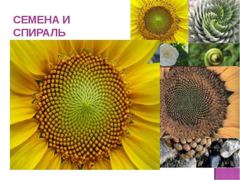 СЕМЕНА И СПИРАЛЬ Семена в подсолнухе, в шишке располагаются так же в виде спирали.