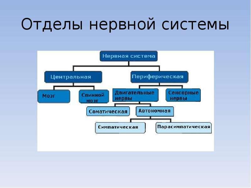 Схема отделов нервной системы