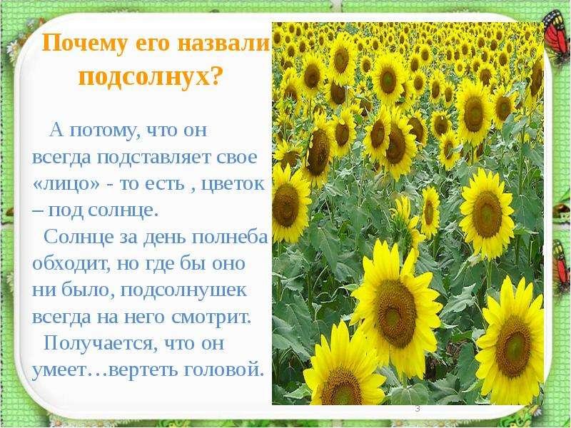 Почему подсолнух называют цветком солнца
