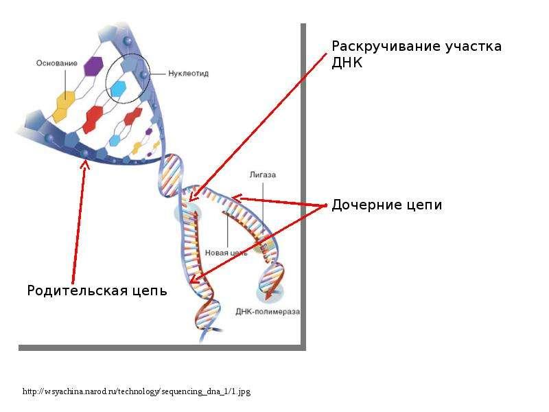 Белки связанные с днк у прокариот