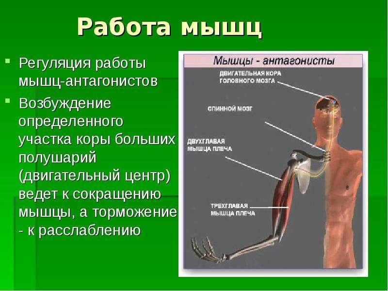 Мышцы и их функция строение и работа мышц