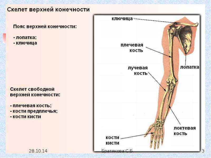 Пояс верхней конечности с рисунками