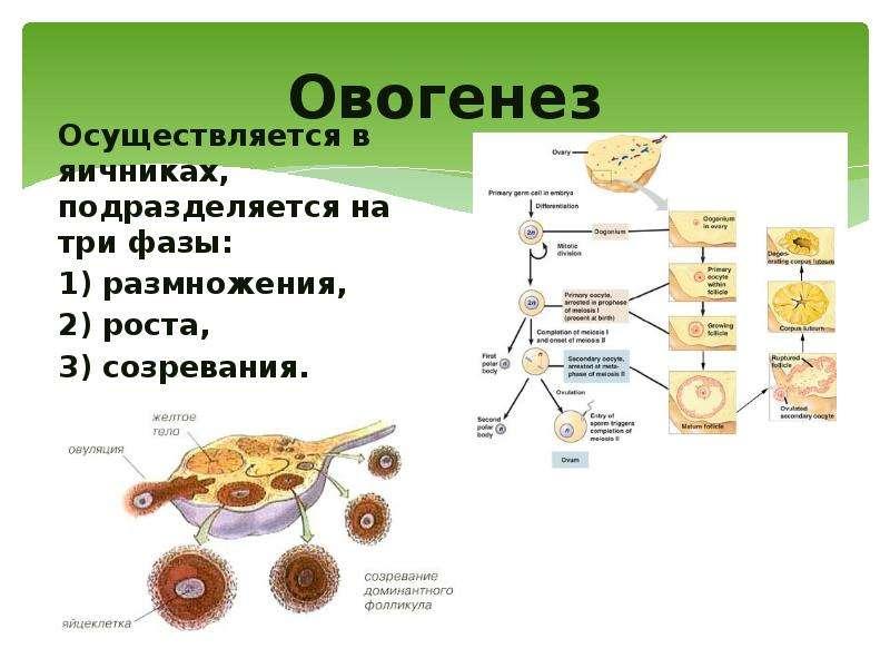 Овогенез Осуществляется в яичниках, подразделяется на три фазы: 1) размножения, 2) роста, 3) созрева